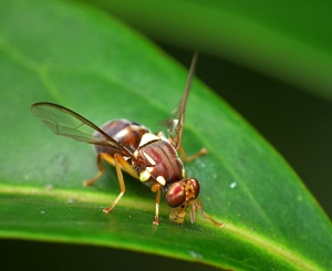 Queensland Fruit Fly   Photo by James Niland